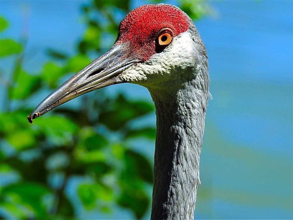 Sandhill Crane Photo Album | TGO Nature Center