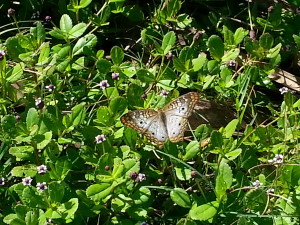 TGO Nature Center, Nature, The Great Outdoors, Titusville, Florida, Education, Insect, Insects, White Peacock Butterfly, Butterflies, Photo Album