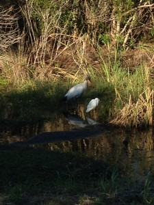 TGO Nature Center, Nature, The Great Outdoors, Titusville, Florida, Education, Birds, Bird, Wood Stork, Snowy Egret, Photo Album