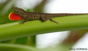 TGO Nature Center, Nature, The Great Outdoors, Titusville, Florida, Education, Reptile, Brown, Anole, Lizard, Photo Album