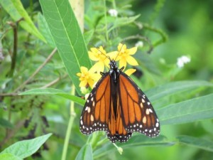TGO Nature Center, Nature, The Great Outdoors, Titusville, Florida, Education, Plants, Insect, Milkweed, Monarch, Butterfly, Flower, Flowers