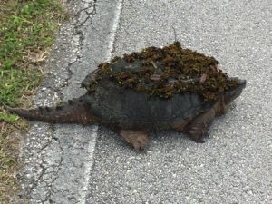 TGO Nature Center, Nature, Reptiles, Turtle, Snapping Turtle, Photo Album