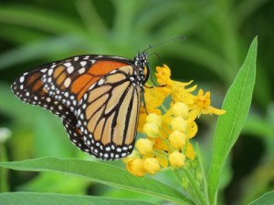 TGO Nature Center, Nature, The Great Outdoors, Titusville, Florida, Education, Insect, Butterfly, Monarch Butterfly, Monarch, Photo Album