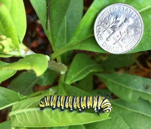 TGO Nature Center, Nature, The Great Outdoors, Titusville, Florida, Education, Insect, Butterfly, Monarch Butterfly, Monarch, Catepillar, Photo Album