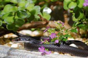 TGO Nature Center, Nature, Snake, Southern Black Racer, Black Racer, Racer, Snake, Photo Album