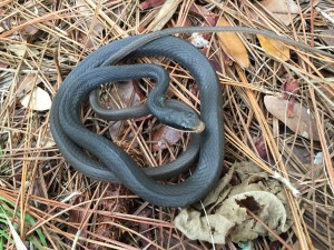 TGO Nature Center, Nature, Education, Reptiles, Southern Black Racer, Black Rcer, Racer, Snake, Inside House, Rescues