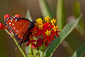 TGO Nature Center, Nature, The Great Outdoors, Titusville, Florida, Education, Insect, Butterfly, Queen Butterfly, Queen, Photo Album