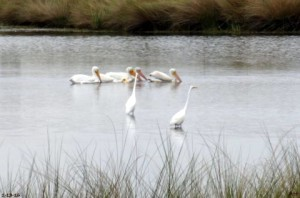 TGO Nature Center, Nature, The Great Outdoors, Titusville, Florida, Education, Birds, American White Pelican, White Pelican, Pelican, Photo Album