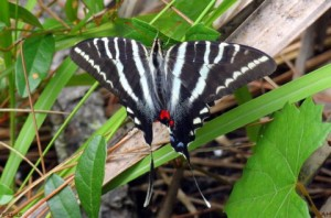 TGO Nature Center, Nature, The Great Outdoors, Titusville, Florida, Education, Insect, Butterfly, Zebra Swallowtail, Swallowtail, Photo Album