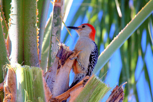TGO Nature Center, Nature, The Great Outdoors, Titusville, Florida, Education, Bird, Red-Bellied Woodpecker, Woodpecker, Photo Album