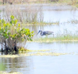 TGO Nature Center, Nature, The Great Outdoors, Titusville, Florida, Education, TGO, Birds, Tricolored Heron, Heron, Photo Album