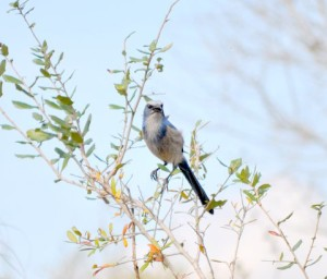 TGO Nature Center, Nature, The Great Outdoors, Titusville, Florida, Education, TGO, Birds, Scrub-Jay, Jay, Photo Album