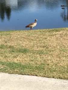 TGO Nature Center, Nature, The Great Outdoors, Titusville, Florida, TGO, Bird, Goose, Egyptian Goose, Photo Album