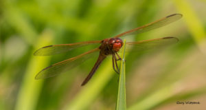TGO Nature Center, Nature, The Great Outdoors, Titusville, Florida, TGO, Insect, Needham's Skimmer, Dragonfly, Photo Album