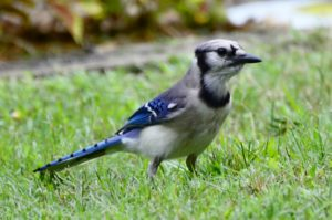 TGO Nature Center, Nature, The Great Outdoors, Titusville, Florida, TGO, Birds, Blue Jay, Photo Album