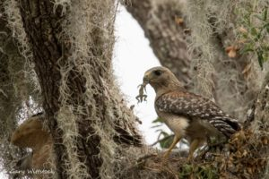 TGO Nature Center, Nature, The Great Outdoors, Titusville, Florida, TGO, Bird, Red-Shouldered Hawk, Hawk, Photo Album