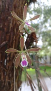 TGO Nature Center, Nature, The Great Outdoors, Titusville, Florida, TGO, Plants,, Butterfly Orchid, Wildflower, Flowers, Photo Album